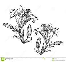 зацветая лилия карточка или флористическая предпосылка с зацветая