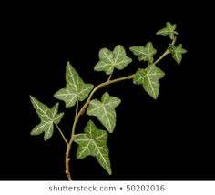 Ivy Black Stock Photos, Images & Photography   Shutterstock