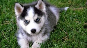cute husky puppy wallpaper 1920x1080