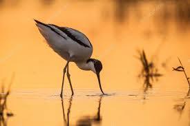 Image result for avocets image denmark waddensea