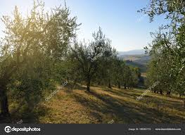 olive tree in italy harvesting time sunset olive garden in tus stock photo
