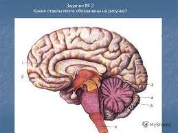 Презентация на тему Контрольная работа Нервная система  4 Задание 3 Какие отделы мозга обозначены на рисунке