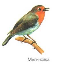Птицы нашего края Иволга Малиновка Горихвостка