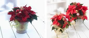 Weihnachtsstern Plant Happy