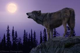 real wolves howling at the moon. Real Wolves Howling At The Moon Wolf Photo Throughout