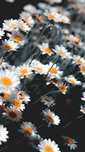 Chamomile android wallpaper #wallpaper #iphone #android #background  #followme | Android wallpaper, Android wallpaper black, Iphone wallpaper  glitter