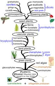 Earth Evolution Chart Evolutionary History Of Plants Wikipedia