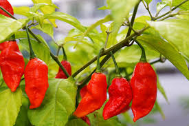 Sriracha2go Blog How Hot Is Sriracha On Scoville Scale