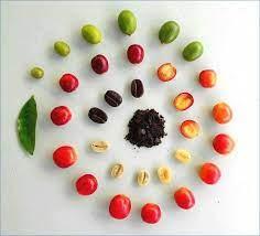 The Anatomy Of A Coffee Bean | Kau Coffee Mill