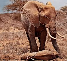 heart rendering an african elephant mother mourns her calf a victim of the