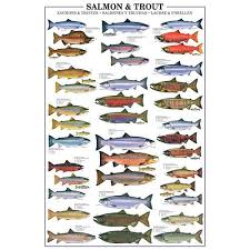 Salmon And Trout Species Identification Large Poster 17 95
