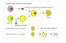 Somatic Cell Nuclear Transfer Wikipedia