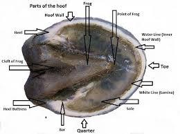 Parts Of A Horses Hoof Horse Hoof Anatomy Horses Animal