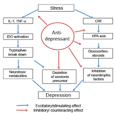 Antidepressant Washout Chart Antidepressants Have Anti Inflammatory Effects That May Be