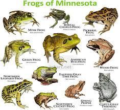 Frogs Species Of Minnesota Frog Species Frog Toad