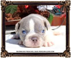 lilac french bulldog puppies