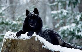 black wolf and white wolf pups. Contemporary Pups Scientists Say The  On Black Wolf And White Pups E