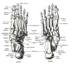 bone structure diagram human foot   anatomy human body    bone structure diagram human foot tag bone structure in human foot human anatomy diagram