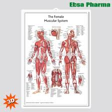 Anatomy Chart Muscular System 3d Medical Human Anatomy Wall Charts Poster The Female Muscular System Buy 3d Chart Human Anatomy Wall Poster The Female Muscular System Product