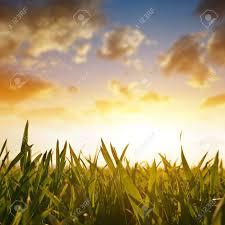 grass field sunrise. Unique Sunrise Stock Photo  Wheat Grass On The Field During Sunrise Spring Season In Grass Field Sunrise S