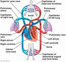 True Flow Chart Of The Heart Blood Flow Chart Through Heart