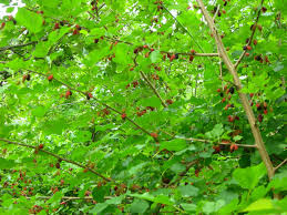 Non Fruiting Mulberry Tree