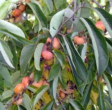 Best 25 Fruit Trees For Sale Ideas On Pinterest  Buy Fruit Trees Fruit Trees For Sale In Nc