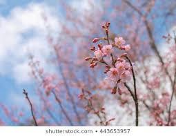 soft focus sakura flower on sky background