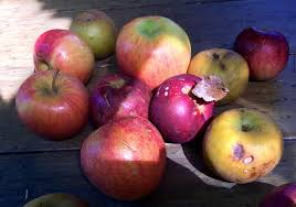 apple food. apples virginia phillips of slow food pittsburgh expects some these apple varieties to find their