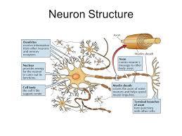 Neuron Structure Ppt Video Online Download