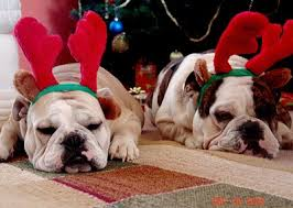 Rocky and Daisy, two English Bulldogs Celebrating Christmas ...