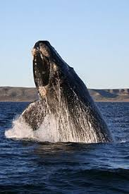 Whale Classification Chart Whale Wikipedia