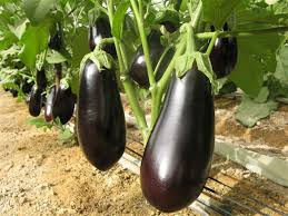 garden seed companies. Genesis Seeds Using Agricultural Technology, Develops Organic Vegetable, Herb And Flower Garden Seed Companies