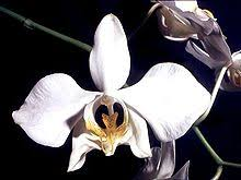 <b>Phalaenopsis</b> - Wikipedia
