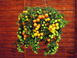Best 25 Growing Tomatoes In Containers Ideas On Pinterest Container Garden Plans Tomatoes