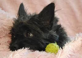 black cairn terrier mix. Delighful Cairn Patriot The Cairn Terrier Mix Inside Black