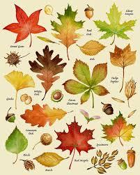Fall Leaf Chart Autumn Leaves Print Leaf Varieties Types Of Leaves Seeds