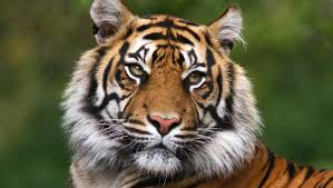 images of tigers. Wonderful Tigers Tiger With Images Of Tigers L