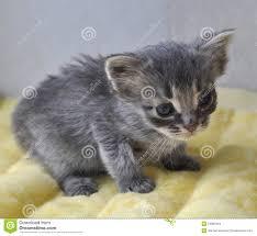 newborn gray kittens. Contemporary Gray Download Gray Kitten Newborn Stock Photo Image Of Newborn Window   24863416 Intended Newborn Kittens Dreamstimecom