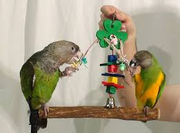 parrots play with shamrock parrot toy