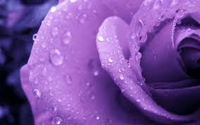 purple rose wallpaper download. Simple Rose WET PURPLE ROSE WALLPAPER Download Inside Purple Rose Wallpaper S