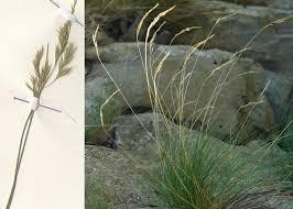 Festuca violacea Ser. ex Gaudin subsp. puccinellii (Parl.) Foggi, Gr ...