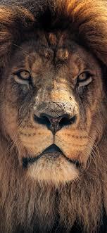 Download 1125x2436 wallpaper lion ...