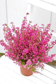 Blomsterlandet - Höstljung - Erica gracilis Blommorna är... | Facebook