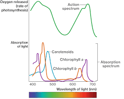Action Spectrum Wavelengths Of Light Course Hero