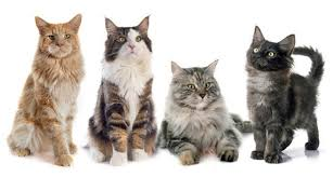 Maine Coon Colour Chart List Of 15 Different Colors Of A