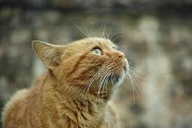 Kuvahaun tulos haulle ilmaiset kuvat kissa