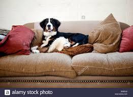 young bernese mounn dog lying on sofa with pillows