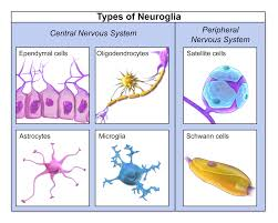 Cns Pns Chart The Nervous And Endocrine Systems Review Article Khan