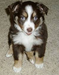 baby mini australian shepherd. Front View Brown With Tan And White Miniature Australian Shepherd Puppy Is Sitting On For Baby Mini